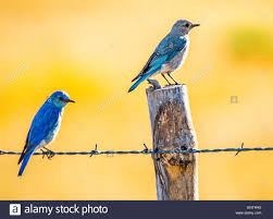 birds male and female mountain blue birds perched on a fence