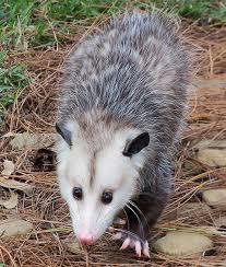 Possum In My Backyard 27 Best Opossum Opossums Possum Possums Virginia Pigmy Images
