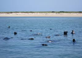 cape cod seals and sharks