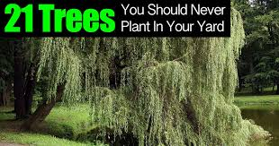 21 trees you should never plant in your yard