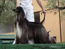 afghan hound giving birth al khabara graceful me al khabara