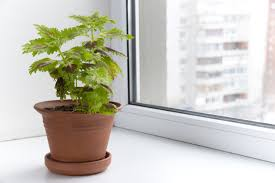 can i grow coleus indoors u2013 tips on growing coleus plants indoors