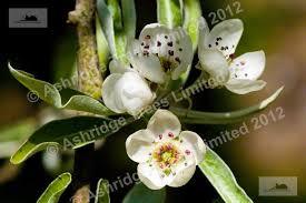 pyrus salicifolia pendula trees for sale weeping pear