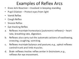 Knee Reflex Arc Reflex Physiology Lab 7 Dr Twana A Mustafa Ppt Video Online