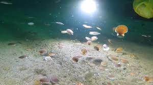 this is how scallops swim the weather channel