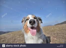 australian shepherd nose australian shepherd search rescue dog stock photos u0026 australian