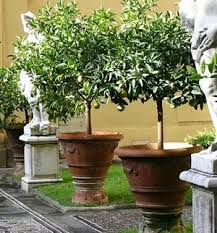 best 25 lime trees ideas on lemon tree plants trees