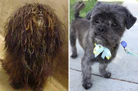 affenpinscher skin problems bow to wow america u0027s top 10 shelter dog makeovers chicago tribune