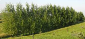 fast growing trees bigfoot willow hybrid willow 8 stake