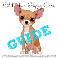 long hair chihuahua hair growth what to expect chihuahua puppy care guide