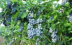 recommended highbush blueberry varieties highbush blueberries