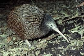 north island brown kiwi new zealand birds online