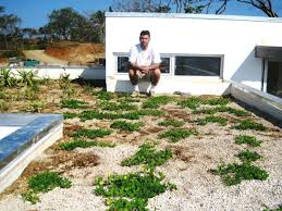 greenroofs perennial peanut gold for green roofs in the