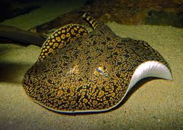 new species of tiger stingray named