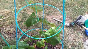 grapes vines grown in my home backyard youtube