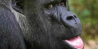 bbc earth why male orangutans have such weird faces