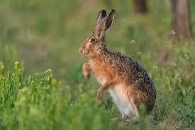difference rabbit hare wonderopolis