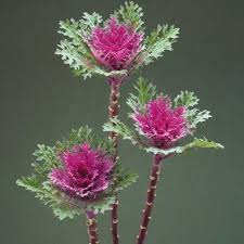 ornamental kale crane feather f1 harris seeds