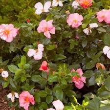 Blue Roses For Sale Easy Elegance Roses For Sale Nature Hills Nursery