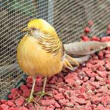 yellow golden pheasants purely poultry