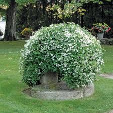 clematis paniculata white flower farm