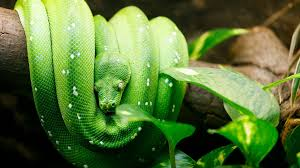 green tree python habitat diet u0026 reproduction sydney