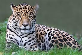 Arizona wildlife tours images United states second jaguar appears in arizona jpg