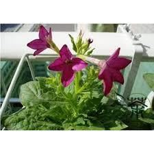 nicotiana alata ornamental flowering tobacco 100 heirloom