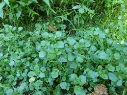 plants native to maryland maryland biodiversity project watercress nasturtium officinale