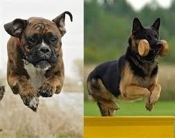 american pitbull terrier vs siberian husky the boxer dog vs other breeds