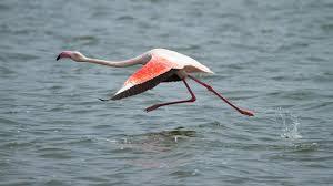 flamingo flying ngsversion 1396530990480 adapt 1900 1 jpg