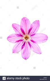 diaphonous petals on an eightfold mauve coloured flower of a
