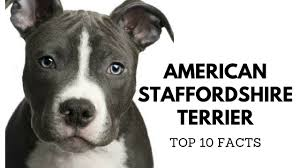 american pitbull terrier wanted american staffordshire terrier top 10 interesting facts youtube