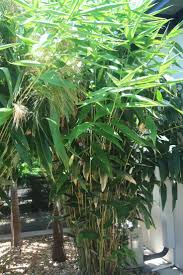 australian native screening plants 40 best tropical hedging and screening plants images on pinterest