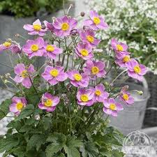 anemone plant plant profile for anemone cinderella japanese anemone