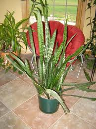 snake plant care houseplant care tips