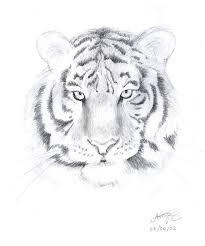 siberian tiger sketch easy white siberian tiger face drawing 46934