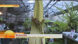 corpse flower blooms youtube