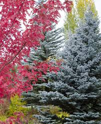native colorado plants colorado blue spruce monrovia colorado blue spruce