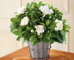 best 20 herb planters ideas on pinterest growing herbs growing gardenias in pots gardenia tree care and how to grow it