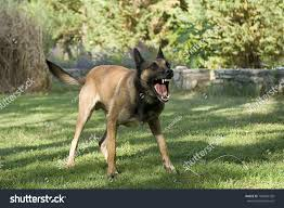 belgian sheepdog videos picture aggressive purebred belgian sheepdog malinois stock photo