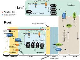 regulation of na and k homeostasis in plants towards improved