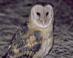 North American Barn Owl Barn Owls Around The World Descriptions Of All The Subspecies