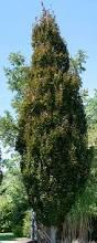 fagus sylvatica fagus sylvatica cv rohan european beech