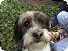bearded collie adoption augie adopted puppy encino ca bearded collie tibetan