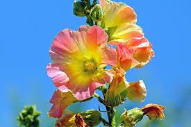Rose Flower Images Rose Free Pictures On Pixabay