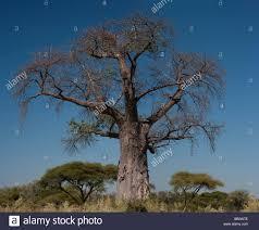 legendary east baobab tree the tree