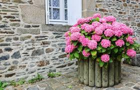 potare le ortensie in vaso come coltivare ortensia non sprecare