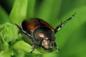 What To Plant In Your Vegetable Garden by How To Control Japanese Beetles In Your Organic Vegetable Garden