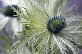 eryngium thistle jackpot a macro image of an ornamental thistle
